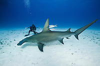 RR2083-D. Great Hammerhead Shark (Sphyrna mokarran), a large and solitary species growing to 20 feet long, swims next to underwater photographer (model released). Found worldwide in tropical seas. Bahamas, Atlantic Ocean.<br /> Photo Copyright &copy; Brandon Cole. All rights reserved worldwide.  www.brandoncole.com