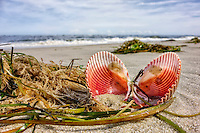 Scallop shell on a Organ Inlet beach.