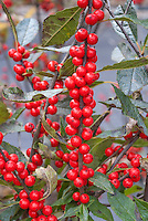 Ilex verticillata 'Winter Red' berries holly