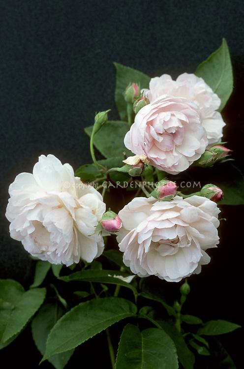 Rosa 'Blush Noisette', Noisette Roses pink, heirloom rose variety