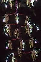 Polycycnis morganii orchid species, swan like flowers native to Ecuador