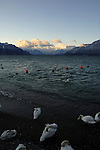 Swans sleeping on the shore of the lake, Vevay close to Montreux,Lausanne Switzerland.