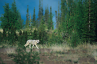 694922029 a wild gray wolf canis lupus walks along the edge of a taiga forest in the northwest territories in canadan