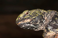 Spiny-tailed Lizard head (Uromastyx acanthinurus). Captivity