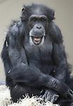 Foto: VidiPhoto<br /> <br /> ARNHEM - Zich niet bewust van het 'onheil' dat hem vrijdag boven zijn hoofd hangt, is chimpanseeman Fons donderdag de rust zelve. Het 41-jarige mannetje gaat vrijdag onder het mes om een sterilisatie uit 2002 ongedaan te maken. Inderdaad werd gedacht dat Fons niet raszuiver was, maar met de huidige DNA-technieken is ontdekt dat de ontmande chimp wel degelijk tot de Westelijke ondersoort behoort, waarmee Burgers' Zoo wil fokken. Nageslacht van Fons is daarom zeer wenselijk, temeer omdat hij na de operatie -als die slaagt- de enige fokman is. Uniek is dat de operatie wordt uitgevoerd door urologen van ziekenhuis Rijnstate. Zij hebben beroepshalve veel ervaring met operatie aan de zaadleiders. Chimpansees zijn nauw verwant aan mensen.