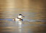 Gadwalls and Ruddy Ducks
