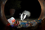 Urban Badger