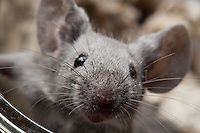 A gray male mouse gets up close and personal with the camera lens, looking right at the edge of the lens.  This closeup focuses on the nose and whiskers of the mouse.