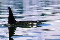 Orca, Killer whales, Prince William Sound, Alaska