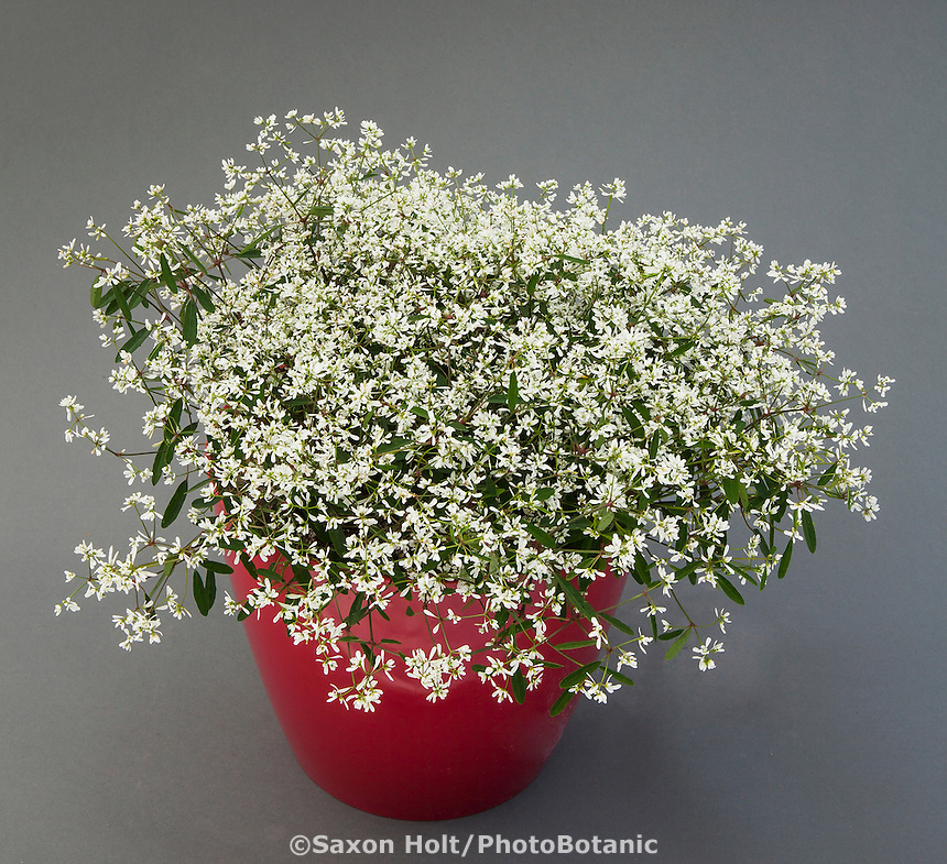 Euphorbia Diwali White Blast; Danziger, California Spring Trials 2014