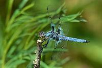 389330005 a wild male hoary skimmer libellula nodisticta perches on a dead twig in fish slough mono county callifornia