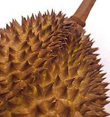 Durian, Durio zibethinus, native of SE Asia, a pungent smelling addictive, slightly narcotic fruit