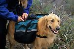 Golden retriever getting her pack adjusted, Sangre de Cristo Wilderness, San Isabel National Forest, Colorado