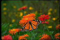 Female Monarch butterfly, Danaus plesxippus, from above wings outstretched in meadow of zinnias