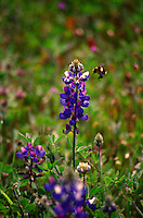 A bright black and yellow bumblebee comes in for a landing on a lupine in Asti in Sonoma County in Northern California.