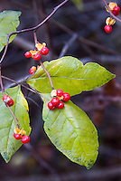 American Bittersweet in Autumn berries, red berry and leaves in fall