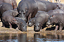Botswana, Moremi Game Reserve, Okavango Delta, Hippopotamus (Hippopotamus amphibius) , large group of adults and calves resting on shore to warm up in early afternoon during winter