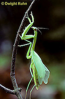 1M30-004z  Praying Mantis nymph molting to adult-wings - Tenodera aridifolia sinenesis