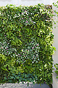 "Green wall, Kate Gould's ""Eco Chic"" Garden, RHS Chelsea Flower Show 2009."