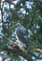541880012 an adult wild gray hawk buteo nitidus perches on a branch of a giant ebony tree with a squirrel it has killed in tamaulipas state mexico