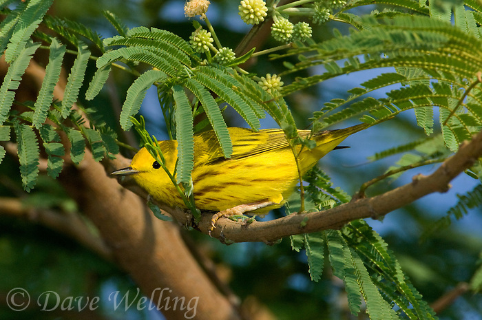 592420039 a wild male yellow warbler setophaga petechia - was dendroica petechia - perches on a small tree branch on south padre island on the south texas gulf coast