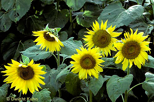HS13-021a   Sunflowers turning towards sun - Helianthus spp.