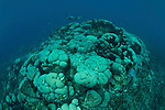 Massive boulder coral, (Gardineroseris planulata) diver serving as the point of reference. This relatively unknown dive destination not far from Lembeh Strait is slowly getting its share of attention because of its stunning coral reefs. This coral species is normally found from the Red Sea to Central America, and is relatively uncommon in this part of the world. It is slow-growing, so this colony must be several thousand years old!