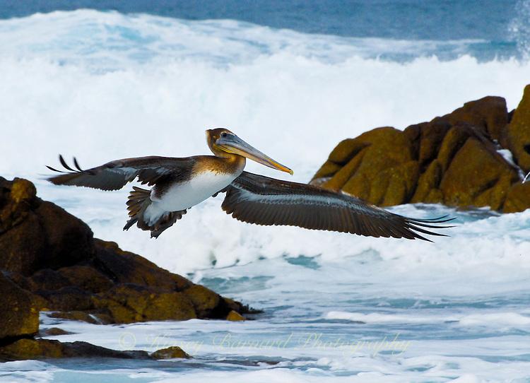 &quot;OCEAN AVIATOR&quot;<br /> <br /> California Brown Pelican soars over the rocky California coast