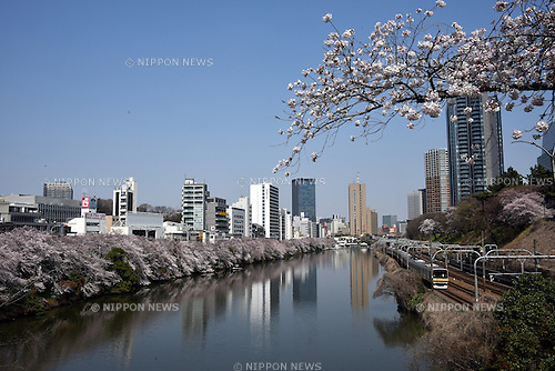 March 30, 2015, Tokyo, Japan - Tokyoites view cherry blossoms in full bloom on the bank along the outer imperial moat in Tokyo on sunny Monday, March 30, 2015, as the nation's capital appreciate their ethereal, ephemeral, delicate beauty in accord with centuries-old tradition.  (Photo by Natsuki Sakai/AFLO)
