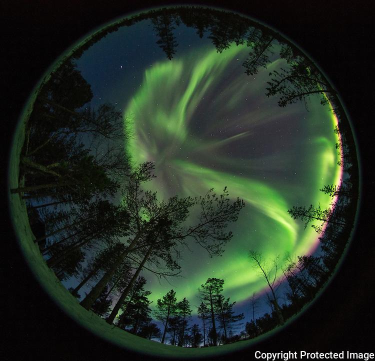 Nordlys over furuskog, fotografert med fisheye-objektiv. ---- Northern lights in forrsest.