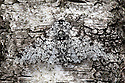 Peppered Moth {Biston betularia}, camouflaged on birch tree bark. Derbyshire, UK.