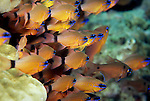 Milne Bay, Papua New Guinea; Ringtailed Cardinalfish (Apogon aureus), to 12 cm (5 in.), form aggregations, live in sheltered coastal, lagoon and outer reefs to 40 meters, found in E. Africa to Tonga, S.W. Japan to E. Australia, also Yellowstriped Cardinalfish (Apogon cyanosoma) and Twinspot Cardinalfish (Archamia biguttata) , Copyright © Matthew Meier, matthewmeierphoto.com