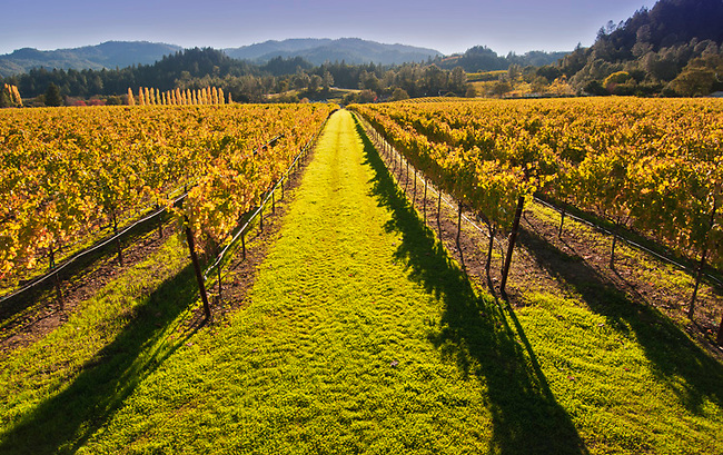 Fall vineyard in Napa Valley