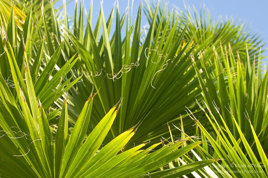Grand Bahama Island, The Bahamas; graphic Palmetto Palm fronds against a blue sky