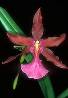 Miltonia Blunti (M. spectabilis x clowesii) Orchid primary hybrid