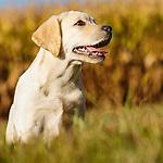 20130924 Van Niel Labradors
