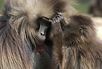Gelada Baboon, Theropithecus gelada, Simien Mountains National Park, Ethiopia, female grooming male, bleeding heart, vunerable, endangered.Africa....