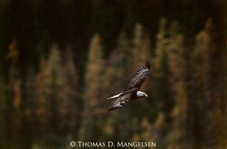 A bald eagle flies through Glacier National Park, Montana.