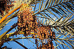 Palm branches with ripe dates, from a date palm (Phoenix dactylifera), Sahara desert, Morocco.