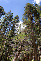 Lodge Pole Pine Trees, Sierra Mountains, California.
