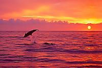 Silhouette of Hawaiian spinner dolphins (Stenella longirostris longirostris) leaping at sunset near Kealakekua Bay, Big Island.