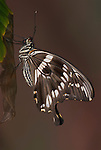 Papilio constantinus Butterfly, side view of wings closed resting on leaf, brown, tails, East Africa.Africa....