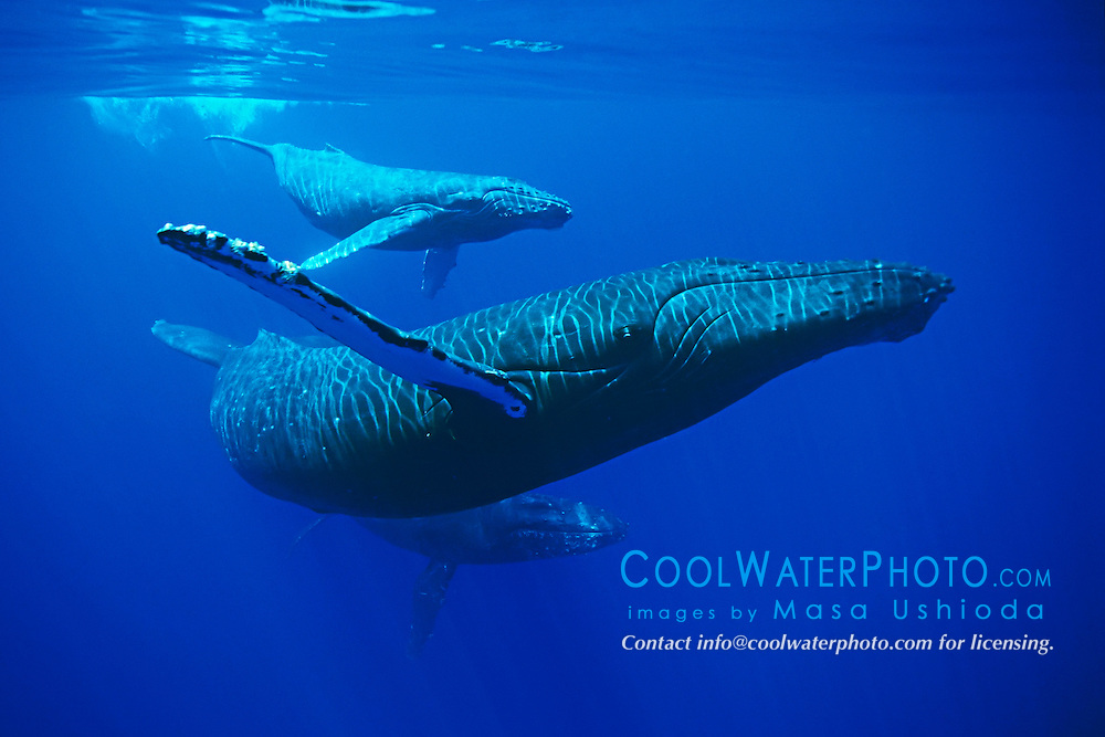 Baby humpback whales - photo#16