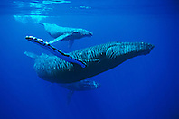 humpback whales, Megaptera novaeangliae, mother, calf and escort, Hawaii, USA, Pacific Ocean