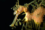 Leafy Sea Dragon, Phycodurus eques, captive.Australia....