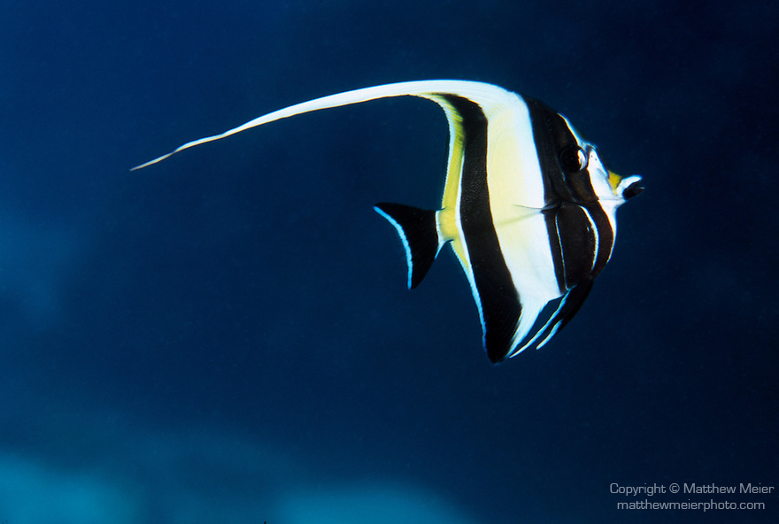 Moorea, French Polynesia; Moorish Idol (Zanclus comutus), solitary, in pairs or groups, found in lagoons and outer reefs to 180 meters, in the Indo-Pacific Ocean region, E. Africa to Micronesia, Hawaii, Polynesia, Mexico and Galapagos.  S.W. Japan to Great Barrier Reef, to 16 cm , Copyright © Matthew Meier, matthewmeierphoto.com All Rights Reserved