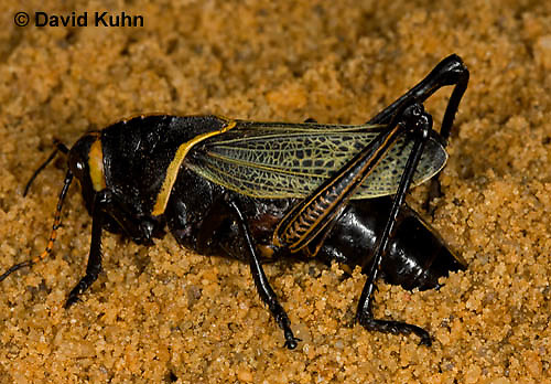 0913-0803  Adult Horse Lubber Grasshopper Depositing Eggs Underground - Taeniopoda eques © David Kuhn/Dwight Kuhn Photography.