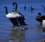 Two friendly black swans photographed in Perth, Western Australia.
