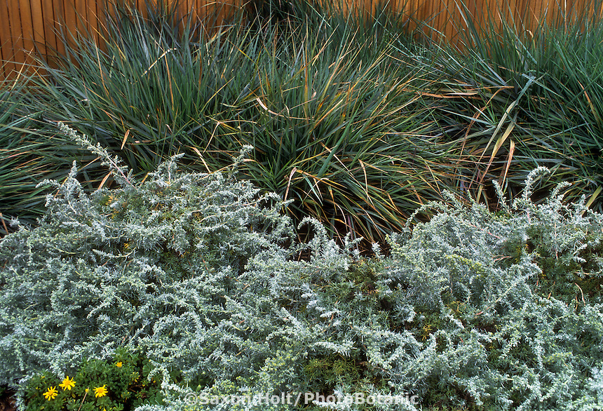 Silver gray foliage drought tolerant groundcovers, Leymus (Elymus) condensatus 'Canyon Prince' (Lyme Grass, Wild Rye) and Artemisia pynocephala 'David's Choice' (Beach Sagebrush) in foreground