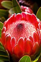 Mink protea at a flower farm on the slopes of Haleakala; the community of Kula, Upcountry Maui